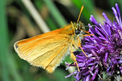 Close up of an orangey brown butterfly on a deep purple flower.