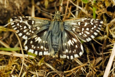 Dark Brownand white almost chequered butterfly