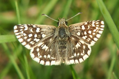 Brown butterfly with white checkered markings