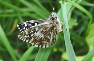 Dark brown butterfly with lots of white marks clinging to a grass stalk