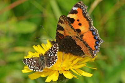 Two butterflies on a yellow flower, one small and brown and white; the other orange with colourful markings and a lot bigger
