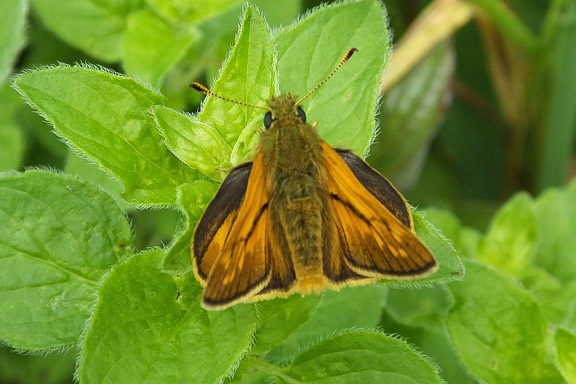 Orange butterfly with brown markings round the edge of its wings, on a leaf