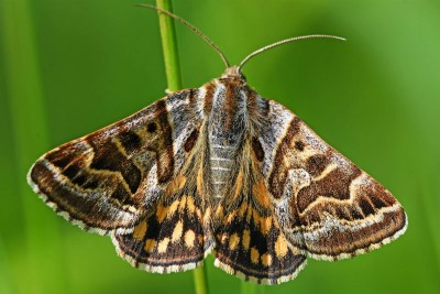 Moth with brown and greay patterning, which can be seen as a hag's face on each wing
