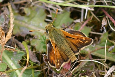 Orange butterfly with deep brown edges to the wings and some pale marks