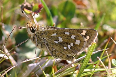 Pale brown butterfly with distinctive white marking on a grass stalk