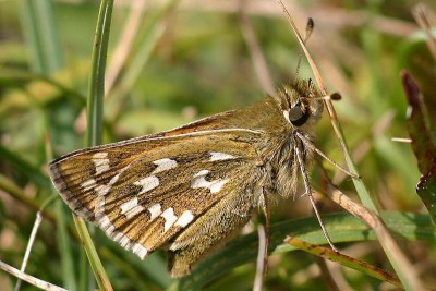 Side view of mid brown butterfly with prominent white marks