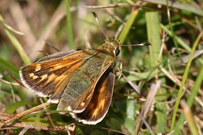 Browny orange butterfly with yellow markings