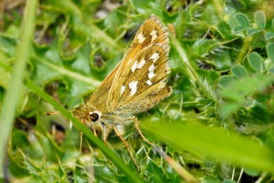 Side view of a pale brown butterfly with prominent white marks