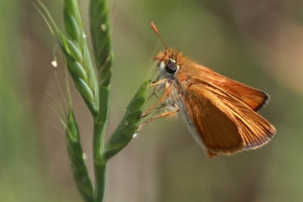 Small orange butterfly on a grass seedhead