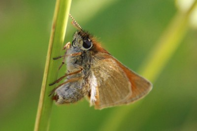 Small orange butterfly laying eggs into a grass stalk