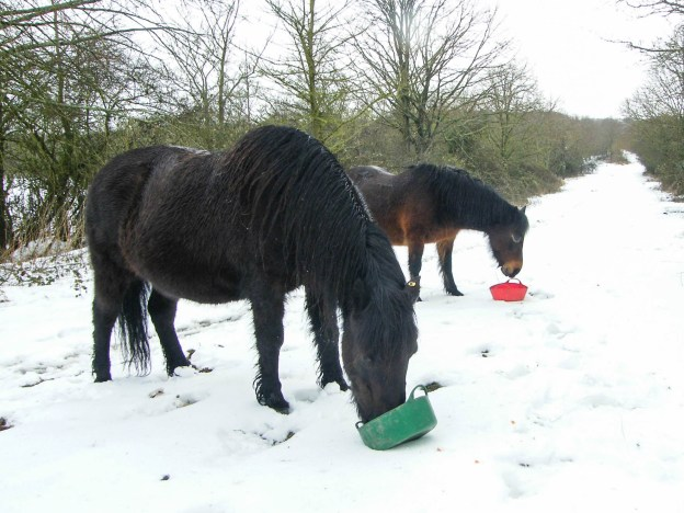 Two ponies eating from feeding bowls placed on snow covered ground