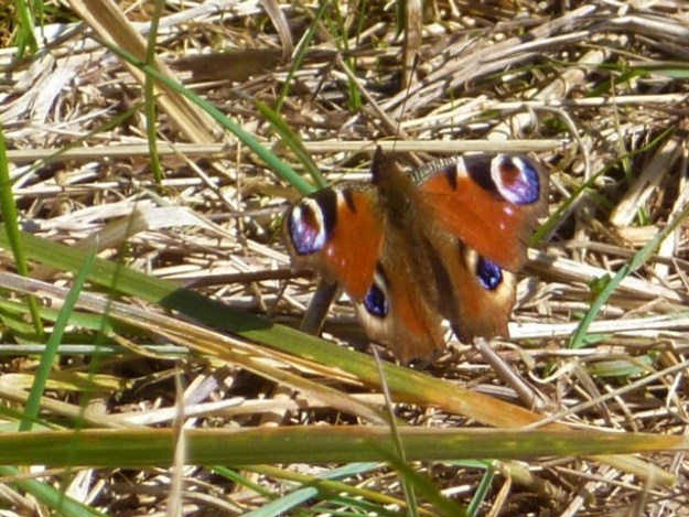 Peacock butterfly with open wings on dry grass
