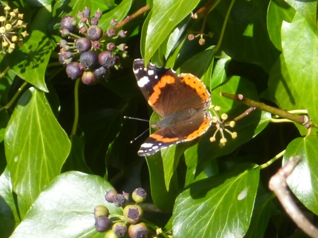 Red Admiral on some ivy