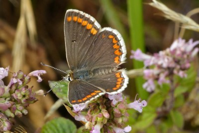 Brown butterfly with orange marks round the edge of its wings and a white fringe