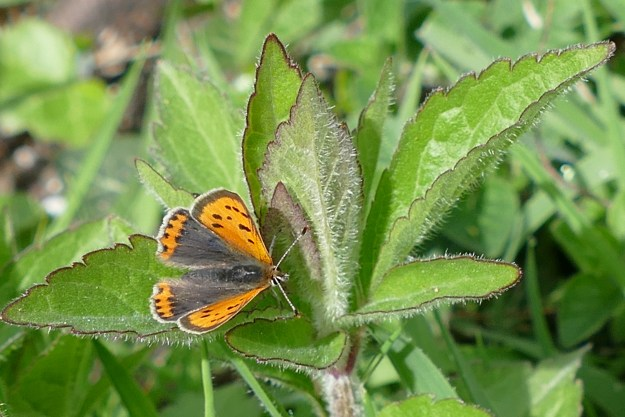 view of a Small Copper wwwwwith open wings, eresting on an non flowering plant