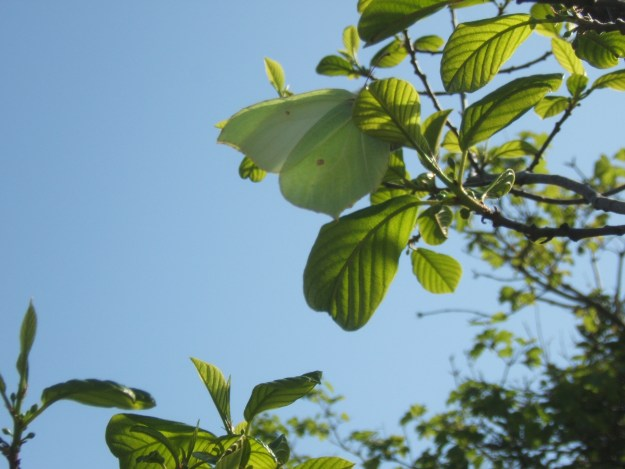 view of a Brimstone egg laying on Buckthorn
