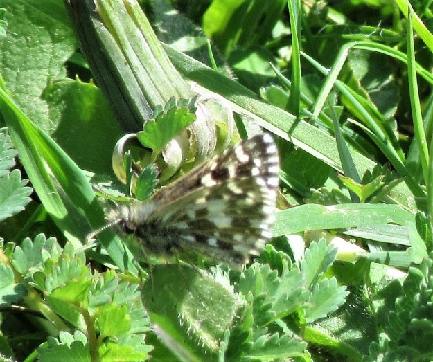 view of a  Grizzled Skipper on greenery