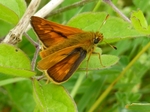 view o a Large Skipper resting on leaves