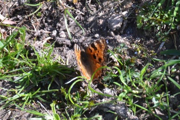 Orange butterfly with dark markings, on the ground