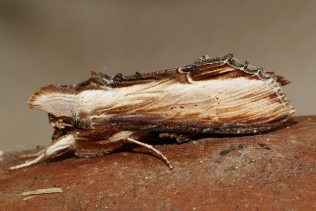 view of a Mullein moth resting after being caught in a moth trap