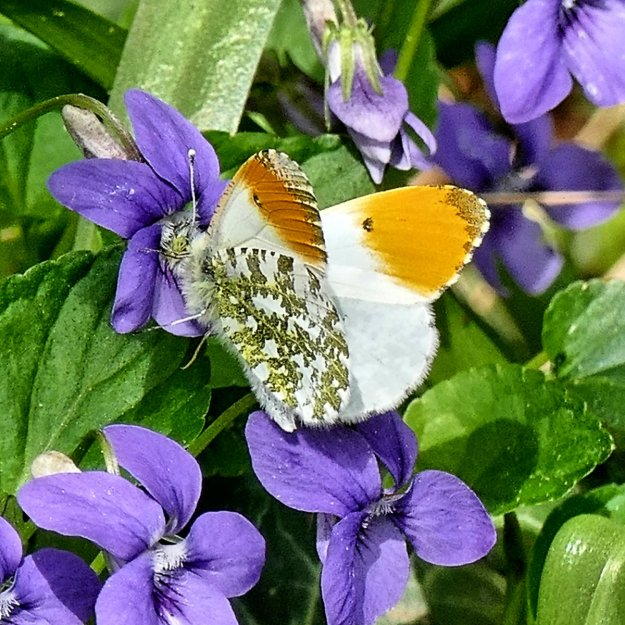 view of a male Orange Tip with partially opened wings nectaring on Dog Violets