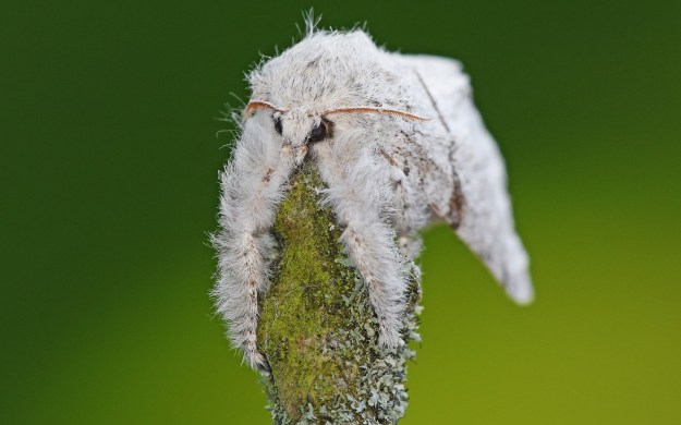 view of a Pale Tussock moth a looking sleepy,  hanging over a lichen covered twig