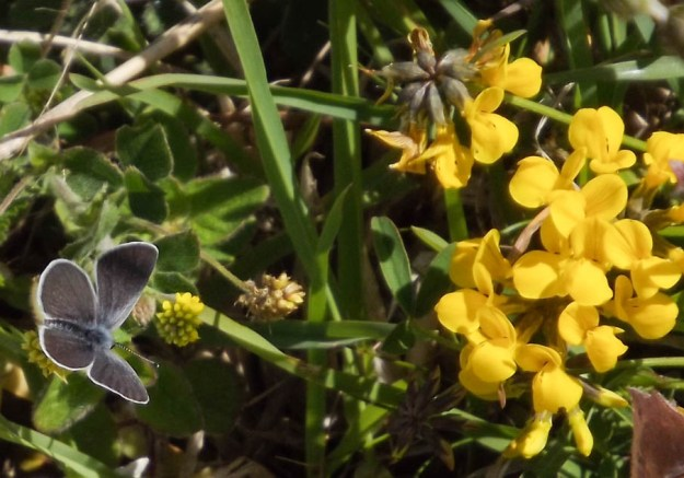 A very small grey-blue butterfly beside some bright yellow flowers