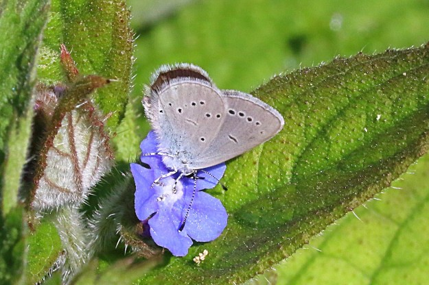 View of a Small Blue nectaring on bird's eye flower showing underside of hind-wing