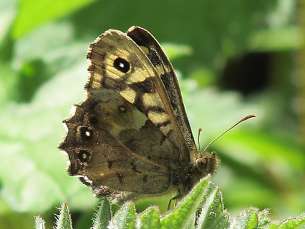 View of a Speckled Wood showing under hind-wing and partial underside of fore-wing