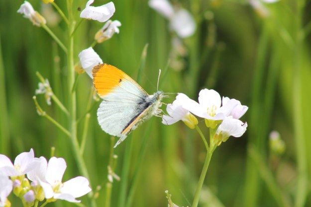 view of amale Orange tip  alighting on a cuckoo flower