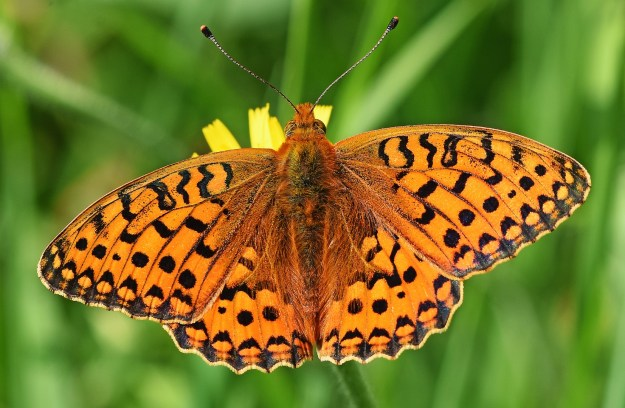 view of the upper fore and hind-wings of a Dark Green Fritillary