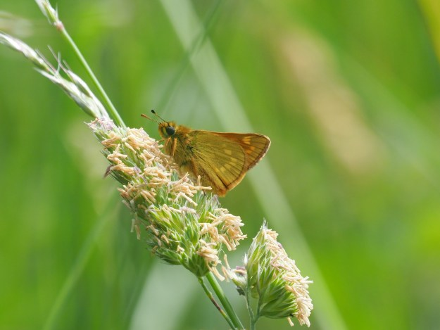 view of a Large Skipper on a grass seedhead showing undersides of fore-wing