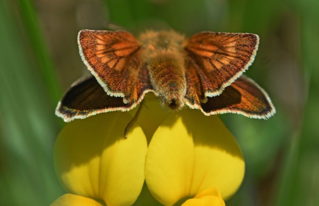 view of a Lulworth Skipper taken from the rear and clearly showing the sun ray pattern on the fore-wings