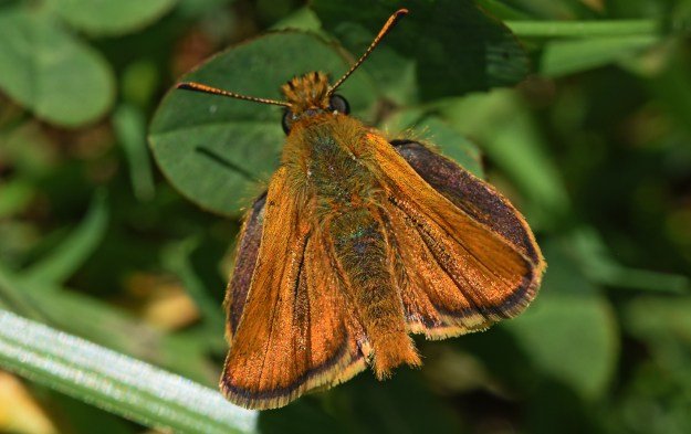 view of a Lulworth Skipper with wings partially open showing the upper fore-wings