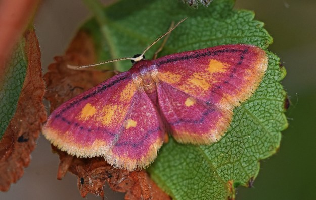 Bright pink and gold moth, on a leaf.