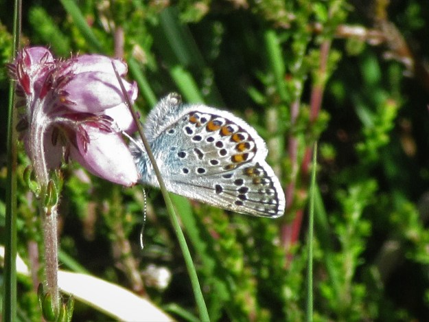 view of a Silver -studded Blue nectaring on a pink flower bud