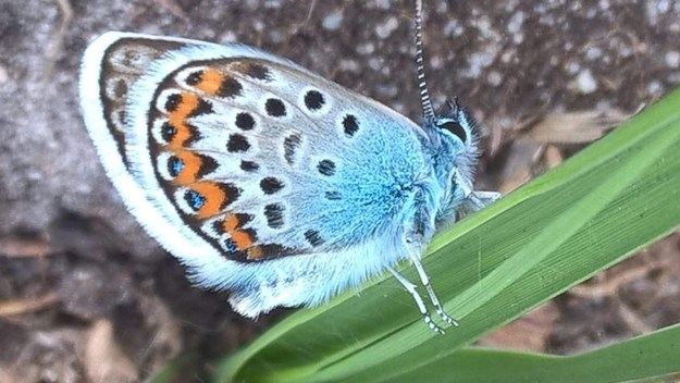 view of a Silver-studded Blue on a  blade of grass