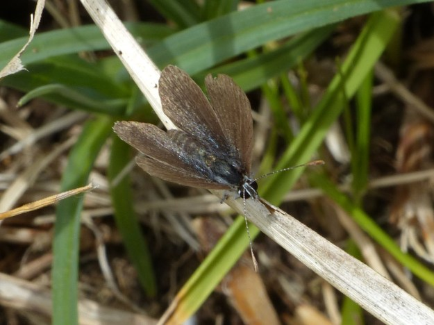 Browny-blue butterfly on a grass stalk near the ground