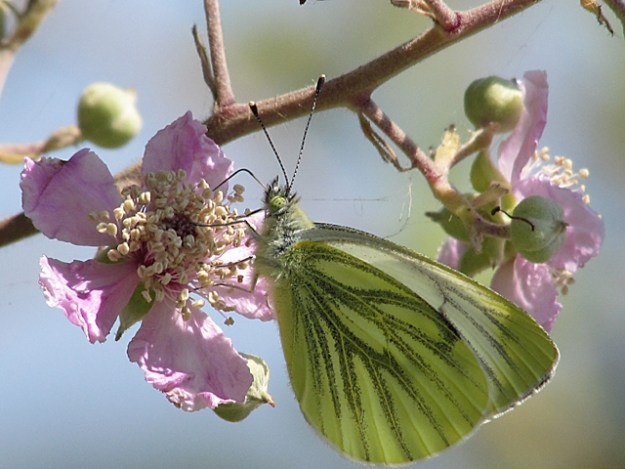 view of a Green-veined White nectaring on pink blossom