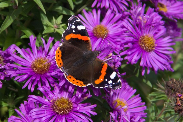 Black, red and white butterfly on purple flowers