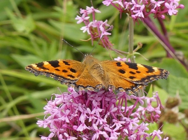 view of a Large Tortoiseshell resting on Valerian  showing upper wings