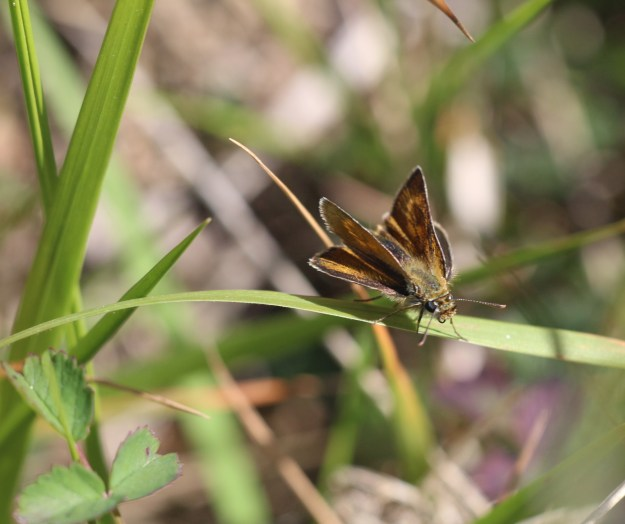 view of a Lulworth Skipper on a grass showing the paw print on its fore-wing