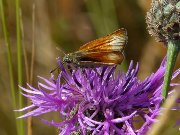 view of a Smal;l Skipper showing white patches on upper fore-wings nectaring on knapweed