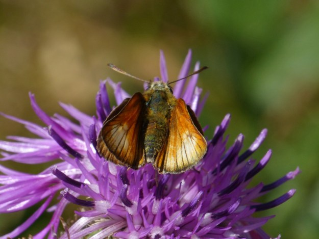 view of Small Skipper , aberration, white patches on upper fore-wing