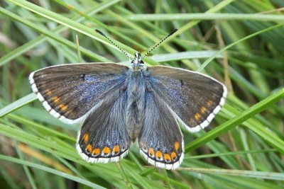 Butterfly whose wings are blue near the body and brown further out, with orange markings and black lines through a white fringe