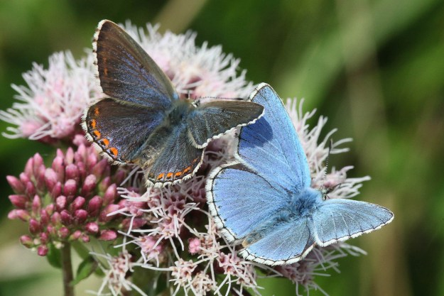 A brown and a blue butterfly, both with open wings, on a pink flower