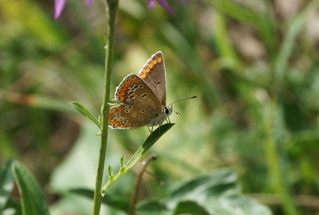 view of a Brown Argus resting on a leag showing a little upper forewing and under-wings-wing