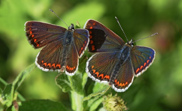 view of two Brown Argus resting side by side on the tip of a flower , both with wings fully open