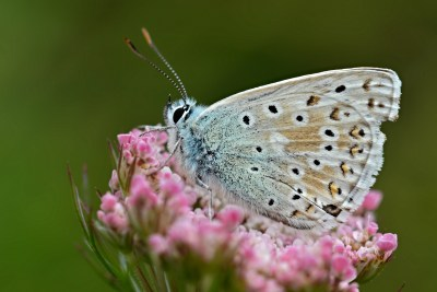 Side view of butterfly with light brown background, though bluish near body and black spots surrounded by white