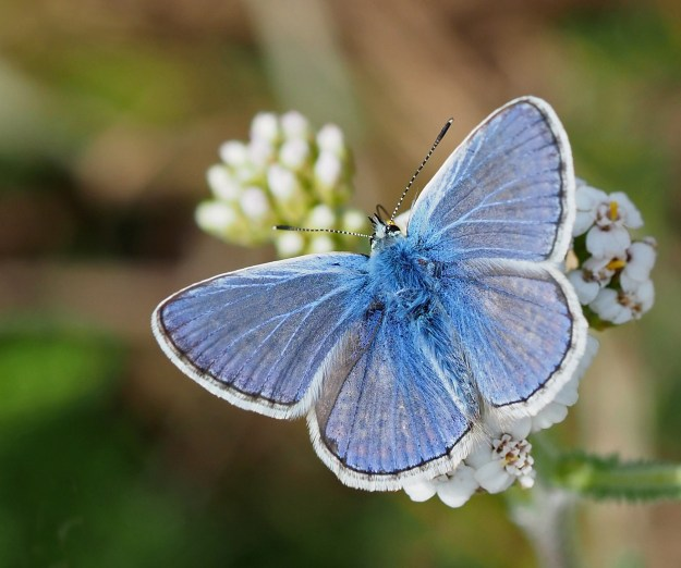 view of a Male Common Blue nectaring on a white flower with wings fully open